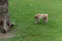 Foraggiando sul mulatta del prato-Macaco-Macaca Immagine Stock Libera da Diritti
