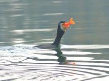 Foraggiare dei cormorani Immagini Stock Libere da Diritti