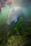Foraggiare del Manatee - acque basse Immagini Stock