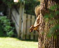 Foraggiare dello scoiattolo rosso fotografia stock libera da diritti