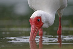 Foraggiare Ibis bianco Immagine Stock Libera da Diritti