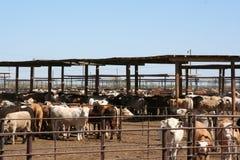 Foraggio del bestiame fotografia stock