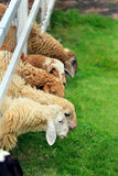 Foraggio delle pecore nel pascolo soleggiato di estate Immagine Stock Libera da Diritti