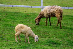 Foraggio delle pecore nel pascolo soleggiato di estate Fotografie Stock Libere da Diritti