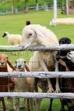 Foraggio delle pecore nel pascolo soleggiato di estate Fotografia Stock Libera da Diritti