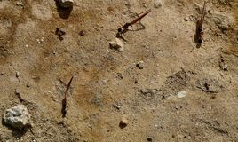 Foraging ants on sandy ground Royalty Free Stock Photography