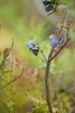 Foraging bacground z jadalnymi jagodami Fotografia Royalty Free