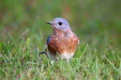 Foraging Bluebird stock photography