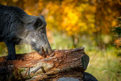Foraging boar close-up Royalty Free Stock Photography