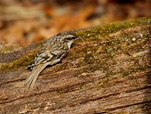 Foraging Brown Creeper. On moss covered log stock photography