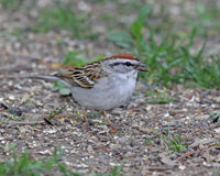Foraging Chipping Sparrow. A Chipping Sparrow (Spizella passerina) feeding on bird seed on the ground stock photography