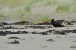 Foraging Chough. View of tagged chough, one of the UK`s rarest birds, foraging on shoreline, Ardnave, island of Islay, Scotland stock image