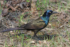 Foraging Common Grackle Stock Photos