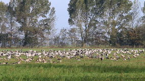 Foraging cranes near the Guenzer See, Germany stock video