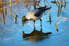 Foraging crow sitting on a blue reflecting iced water surface in front of the reeds in the winter. Foraging crow corvus cornix sitting on a blue reflecting iced Royalty Free Stock Image