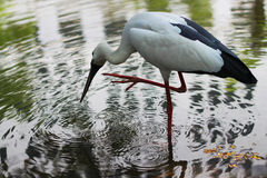 Foraging egret. Egret foraging in the water Stock Image