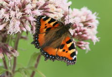Foraging European Small Tortoiseshell Royalty Free Stock Images