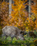 Foraging female boar and sounder Royalty Free Stock Image