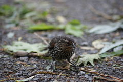 Foraging Female Red Winged Blackbird Royalty Free Stock Photos