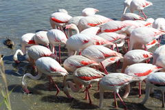 Foraging flamingos in the Camargue, France stock images
