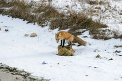 Foraging fox on rock. Foraging fox climbs onto rock on beach to scout for prey Stock Images