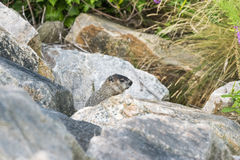 Foraging groundhog pauses to reconnoiter royalty free stock photo