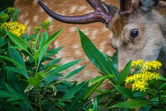 Foraging Hokkaido Deer with Flowers royalty free stock images