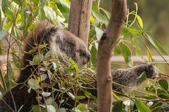 Foraging koala bear Stock Image