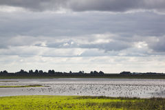Foraging lapwings in Dutch Jaap Deensgat, Lauwersmeer Stock Images