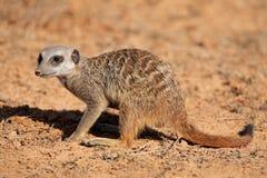 Foraging meerkat stock photo