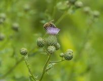 Foraging Północnoamerykański Honeybee Obraz Royalty Free