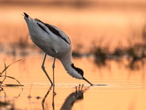 Foraging pied avocet picking up food from water Stock Images
