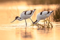 Foraging pied avocets royalty free stock photo