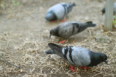 Foraging pigeons. A group of foraging pigeons on ground Stock Image