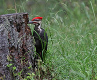 Foraging Pileated Woodpecker Royalty Free Stock Photos