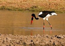 foraging ptaka Fotografia Stock