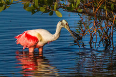 Foraging Roseate Spoonbill. Adult Roseate Spoonbill With Breeding Plumage Foraging At Edge Of Mangrove royalty free stock image