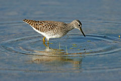 Foraging Ruff Stock Image