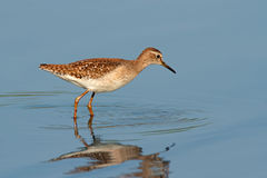 Foraging ruff Stock Photography