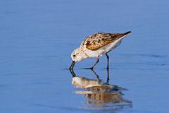 Foraging Sanderling Stock Images