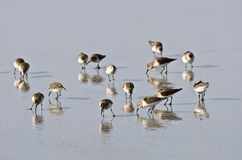 Foraging SandPipers Stock Images