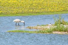 Foraging spoonbill Stock Photo