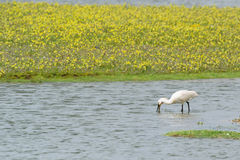 Foraging spoonbill Royalty Free Stock Image