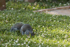Foraging Squirrel Stock Photography