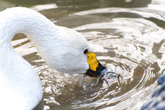 White foraging swan Stock Photography