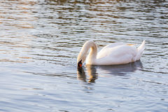 Foraging Swan Royalty Free Stock Photo