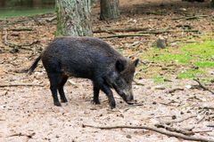 Foraging wild boar Royalty Free Stock Photography