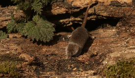 A foraging wild Pygmy Shrew Sorex minutus. Stock Photos