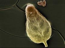 The foraminifera shell Stock Image