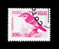 Forapaglie (shoenobaenus) del Acrocephalus, serie degli uccelli, circa 20 Fotografia Stock